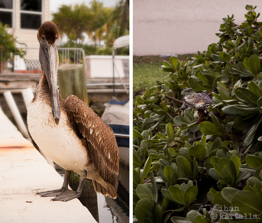 fort-lauderdale-pelikaani-lisko.jpg