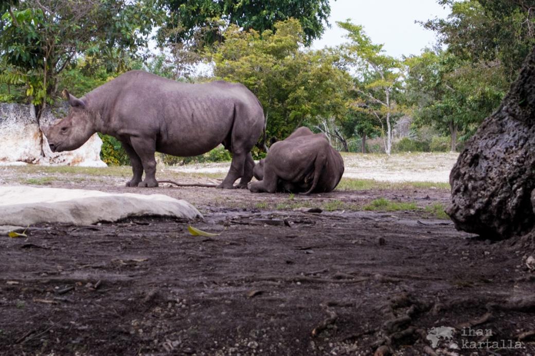 miami-zoo-rhino
