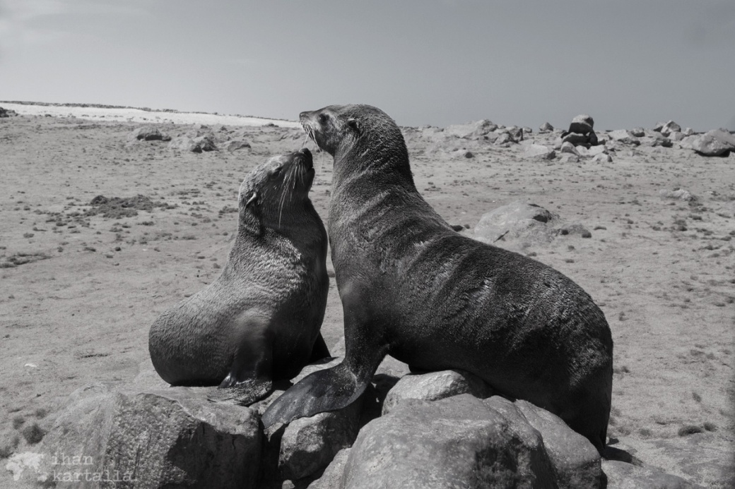 cape-cross-furseals
