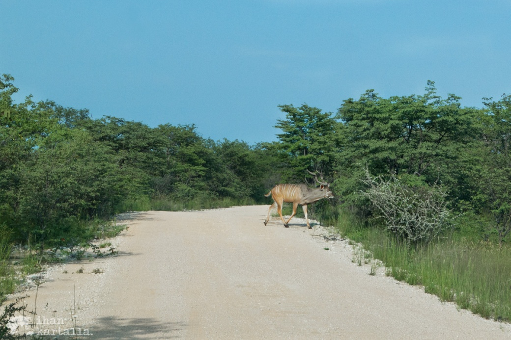 etosha-kudu