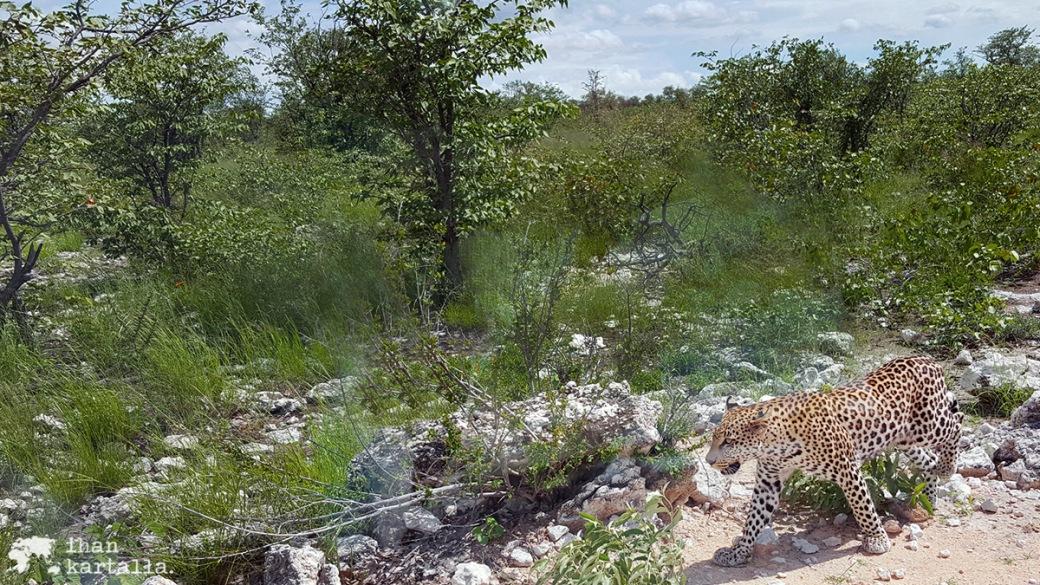 halali-leopardi