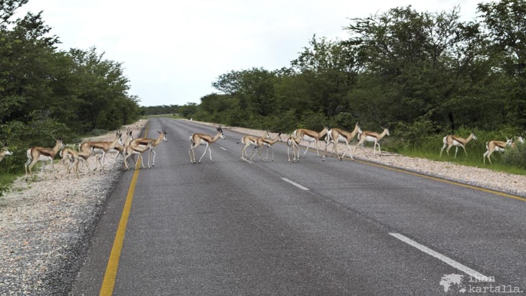 namibia-okaukuejo-impala.jpg