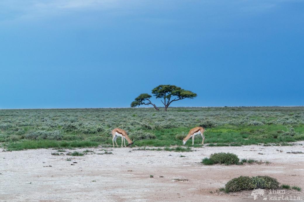 namibia-okaukuejo-springboks.jpg