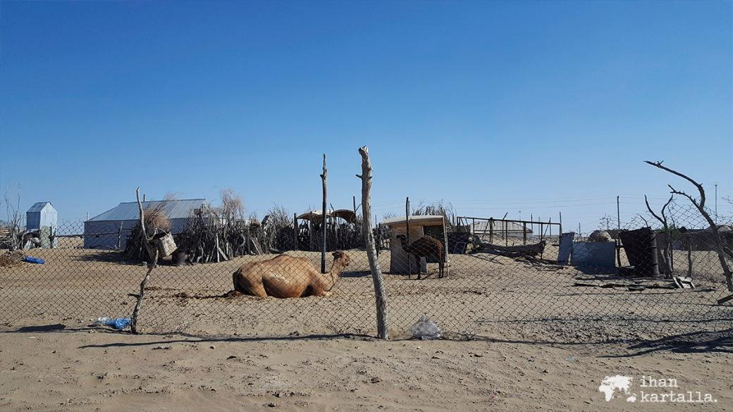 3-7 turkmenistan erbent kamelit