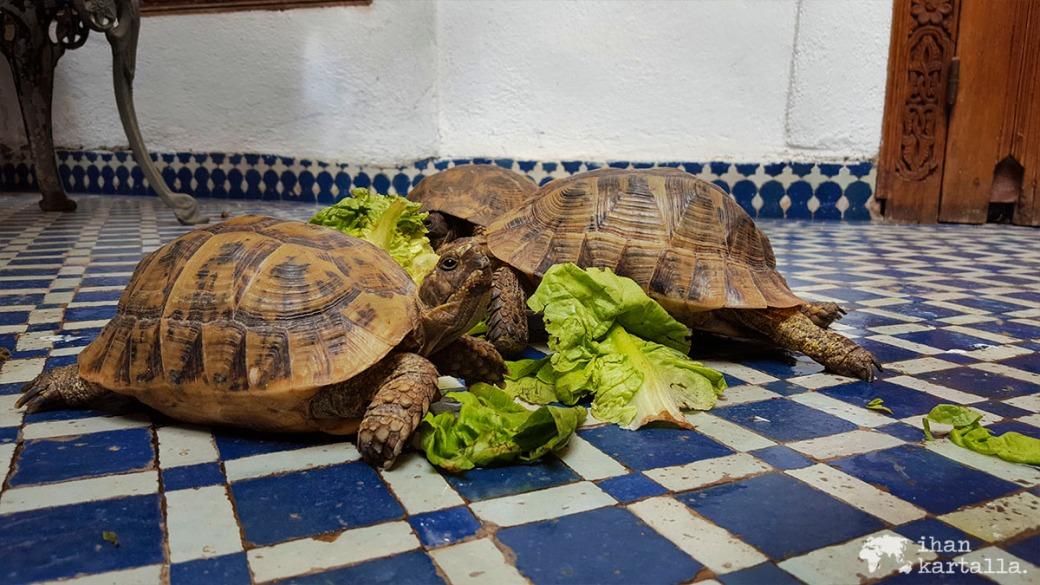 30-5 fes kilpikonnat