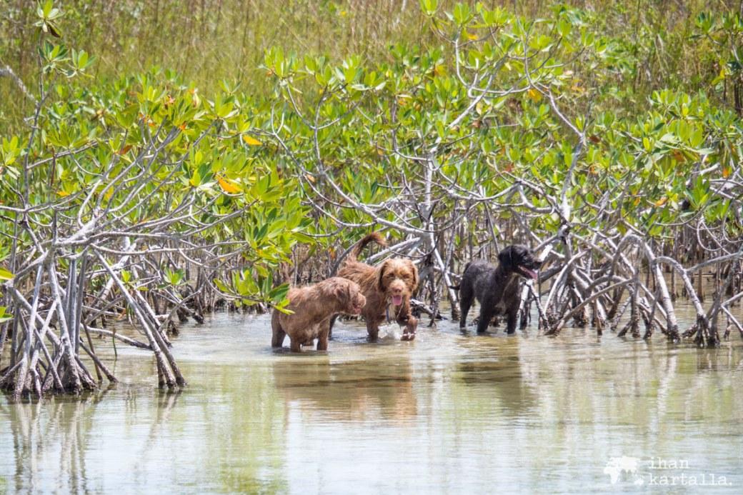 1-9-bahama-koirat