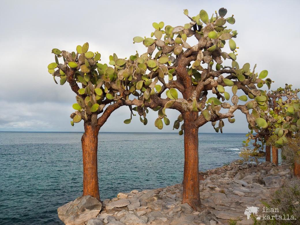 10-9-galapagos-santa-fe-cactuses