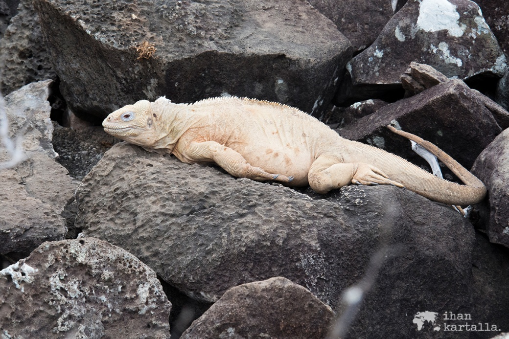 10-9-galapagos-santa-fe-land-iguana2
