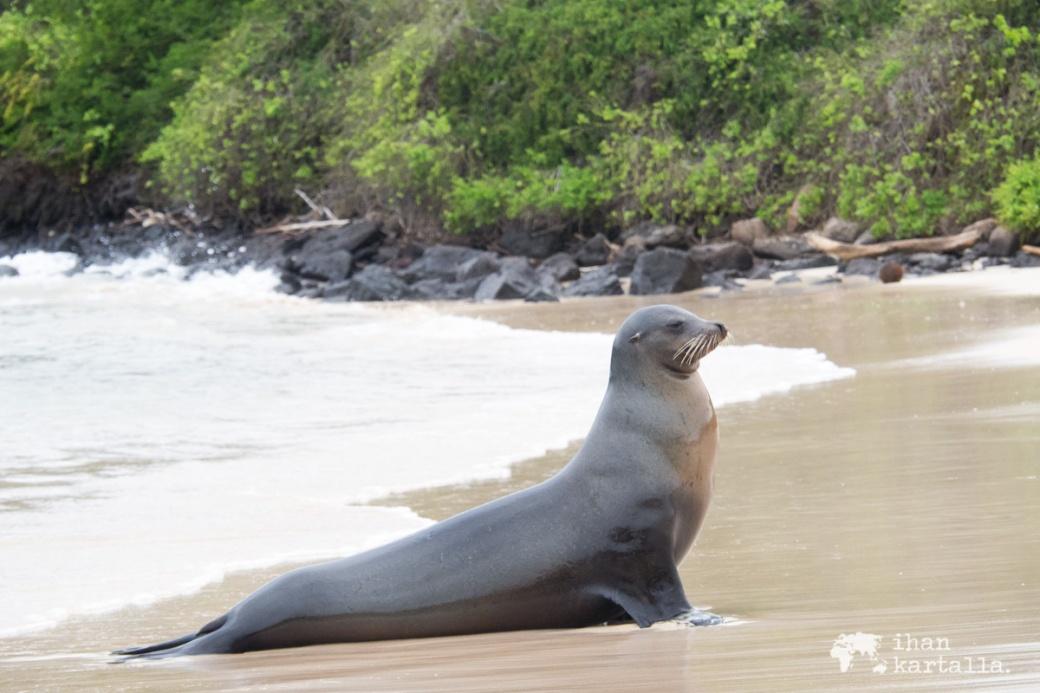 10-9-galapagos-santa-fe-sealion-beach