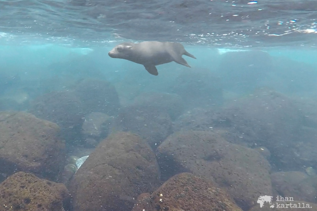 10-9-galapagos-santa-fe-snorkeling-sea-lion