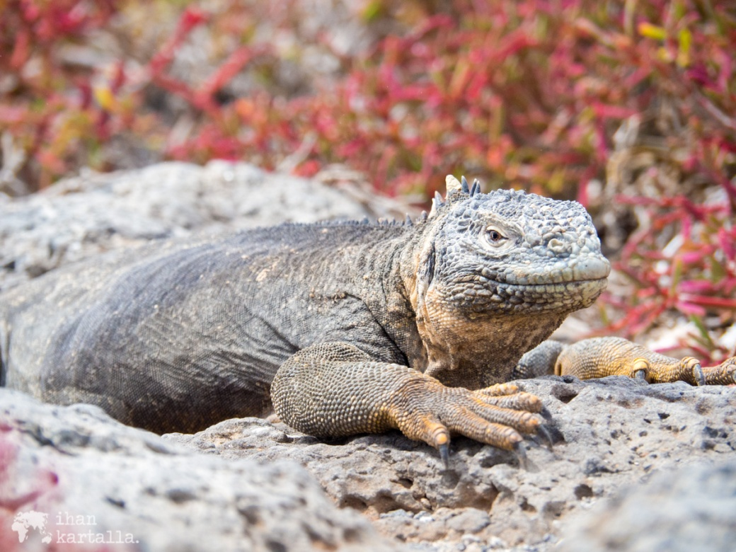 10-9-galapagos-south-plaza-iguana-pose2