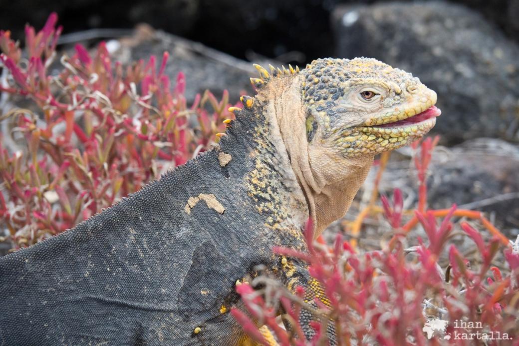 10-9-galapagos-south-plaza-iguana-pose6