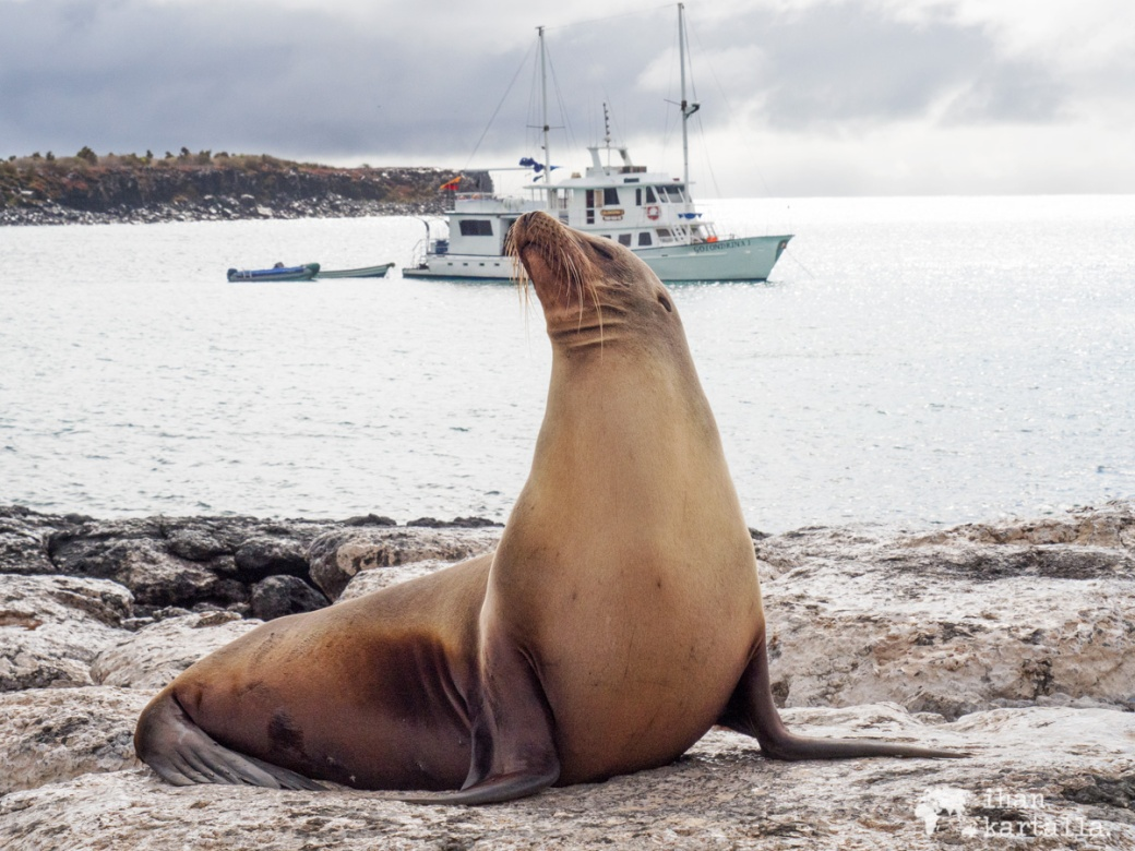 10-9-galapagos-south-plaza-sealion2
