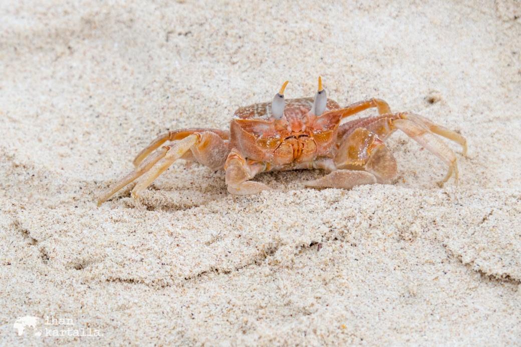 11-9-galapagos-cerro-brujo-ghost-crab