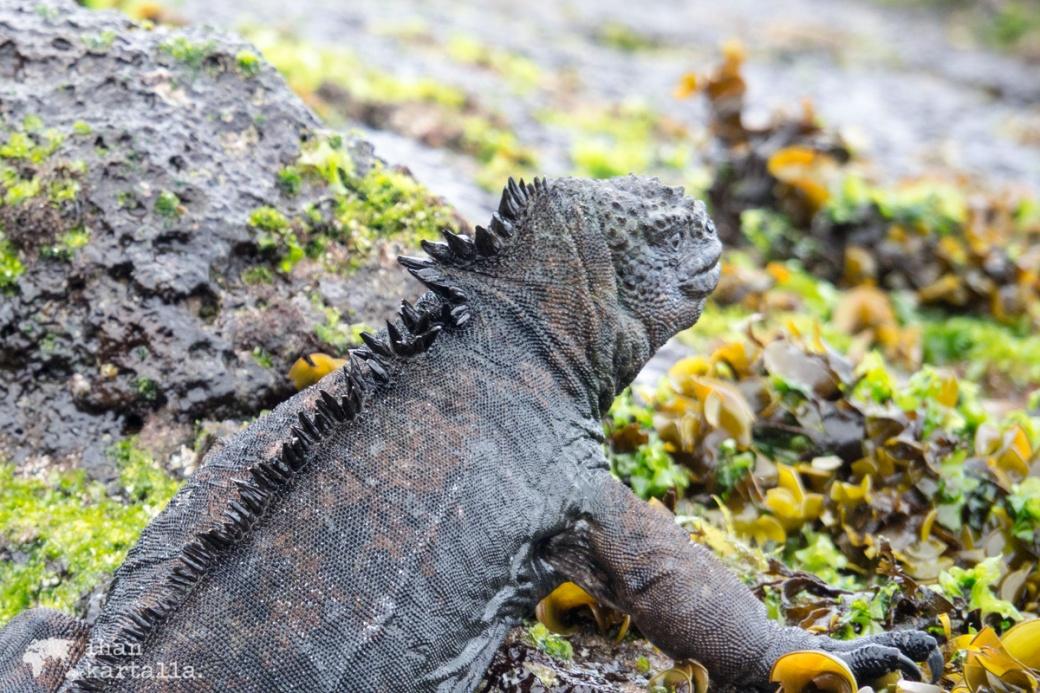 11-9-galapagos-cerro-brujo-iguana