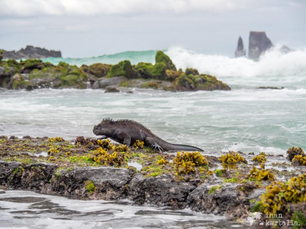 11-9-galapagos-cerro-brujo-marine-iguana
