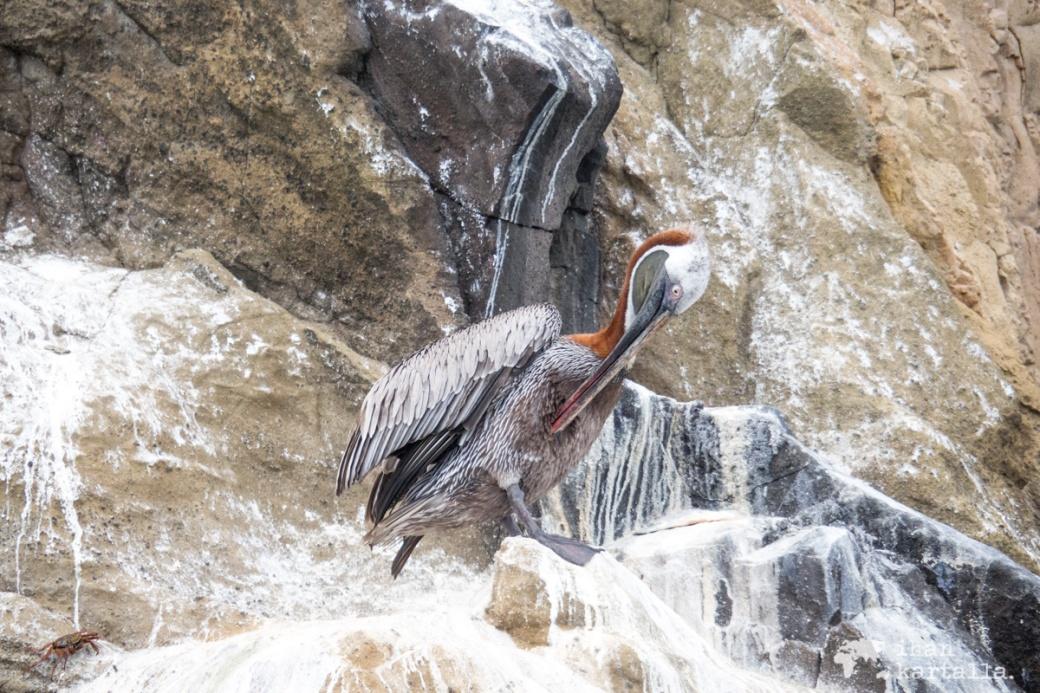 11-9-galapagos-cerro-brujo-pelican2