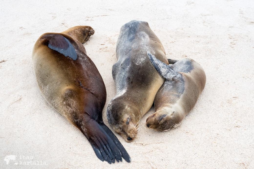 11-9-galapagos-cerro-brujo-sea-lion-family