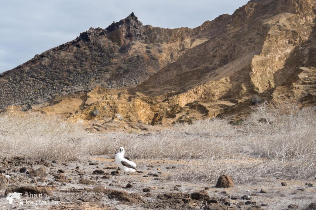11-9-galapagos-punta-pitt-baby-booby