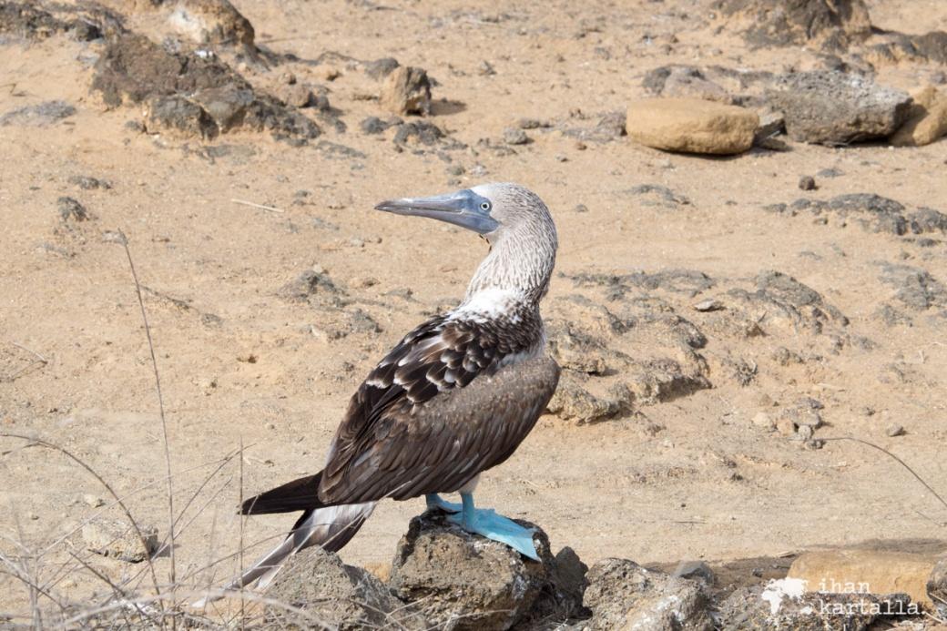 11-9-galapagos-punta-pitt-blufooted-booby