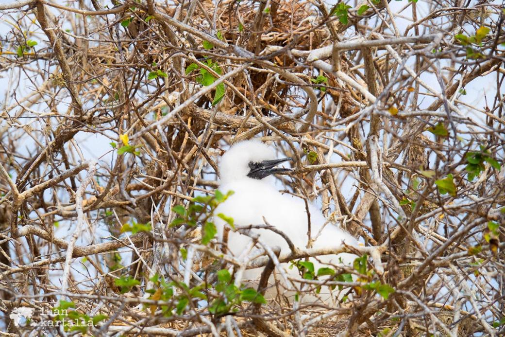 11-9-galapagos-punta-pitt-booby-baby