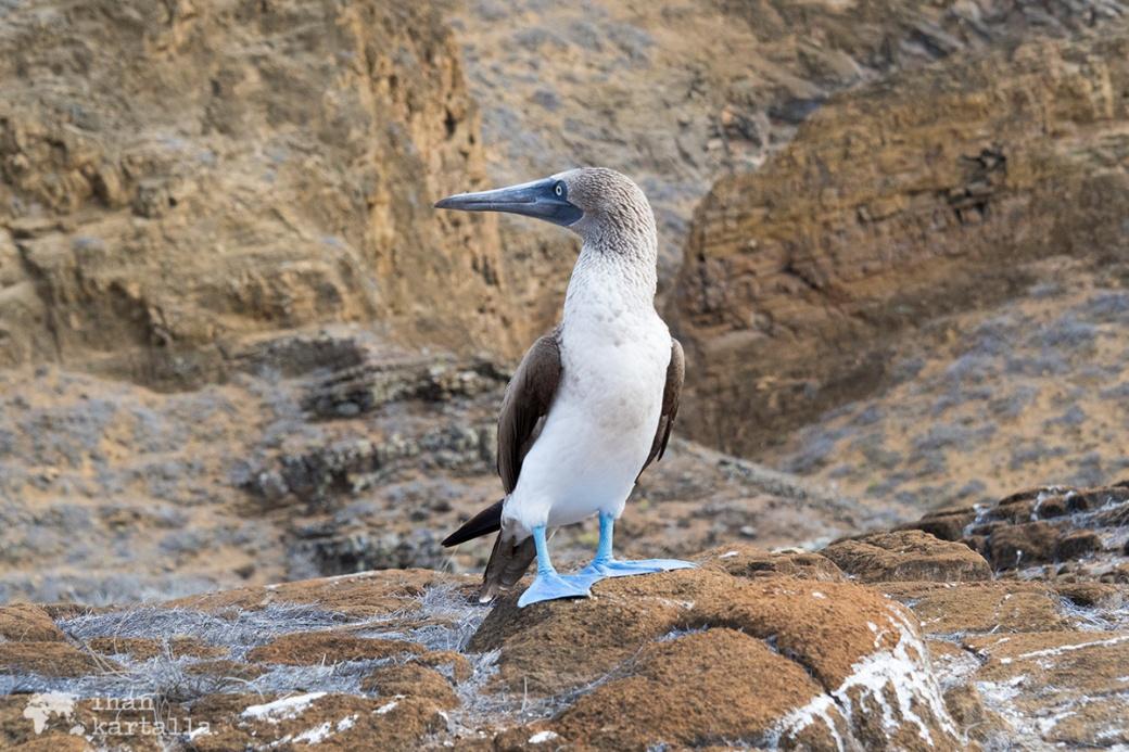 11-9-galapagos-punta-pitt-booby-pose