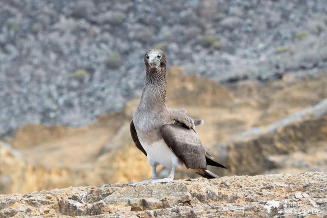 11-9-galapagos-punta-pitt-booby