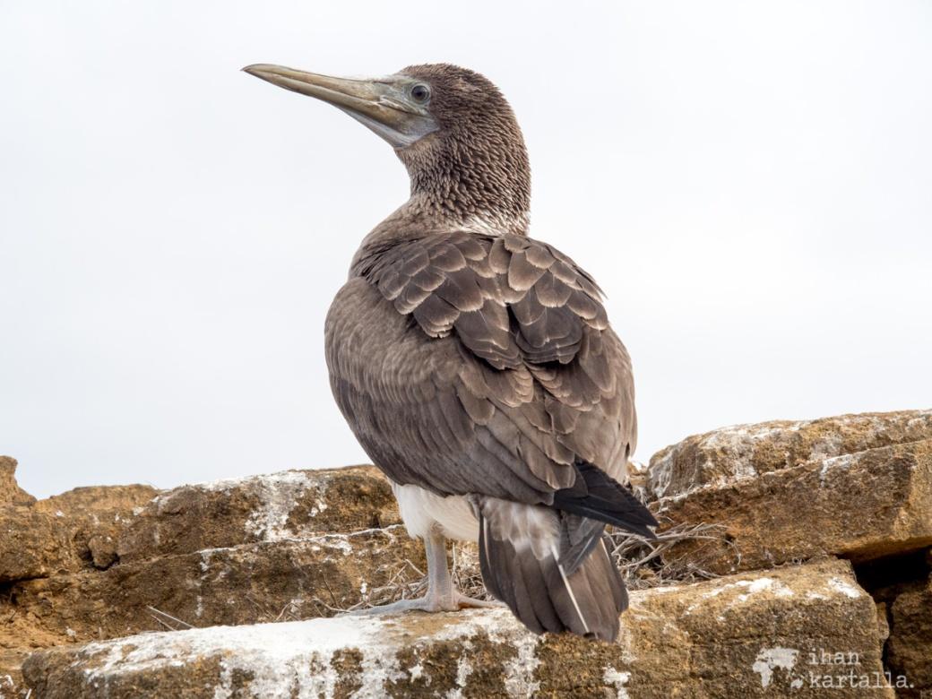 11-9-galapagos-punta-pitt-white-booby