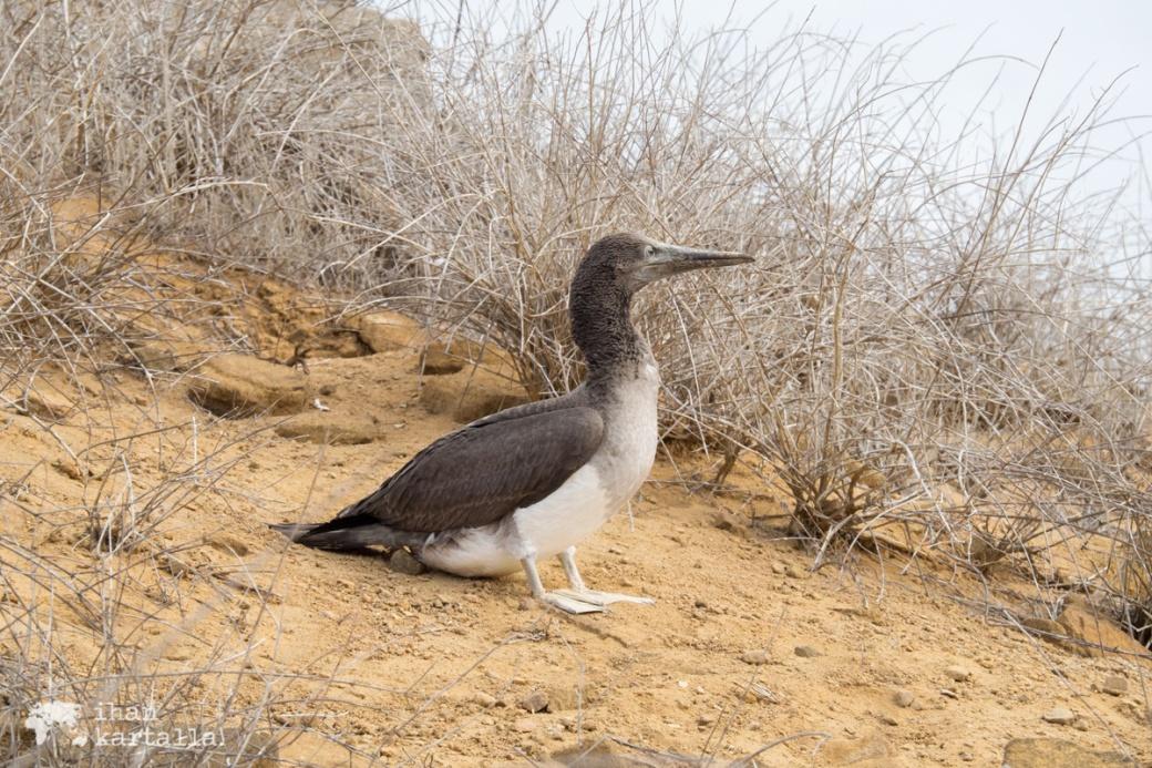 11-9-galapagos-punta-pitt-white-booby2