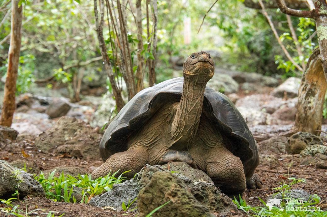12-9-galapagos-giant-tortoise