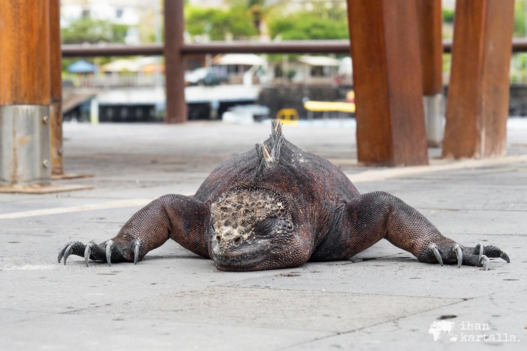 12-9-galapagos-puerto-baquerizo-moreno-marine-iguana