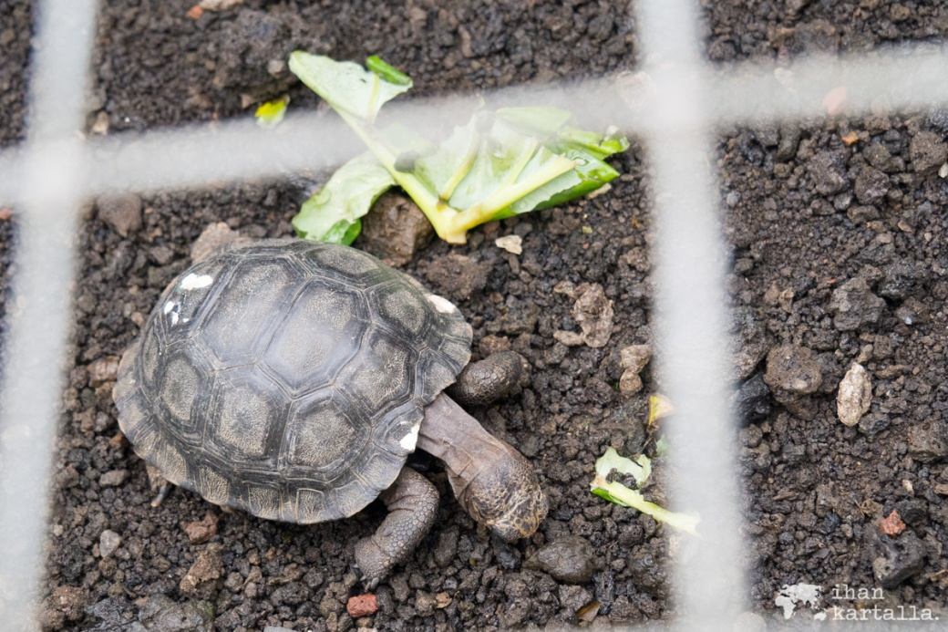 12-9-galapagos-san-cristobal-baby-tortoise