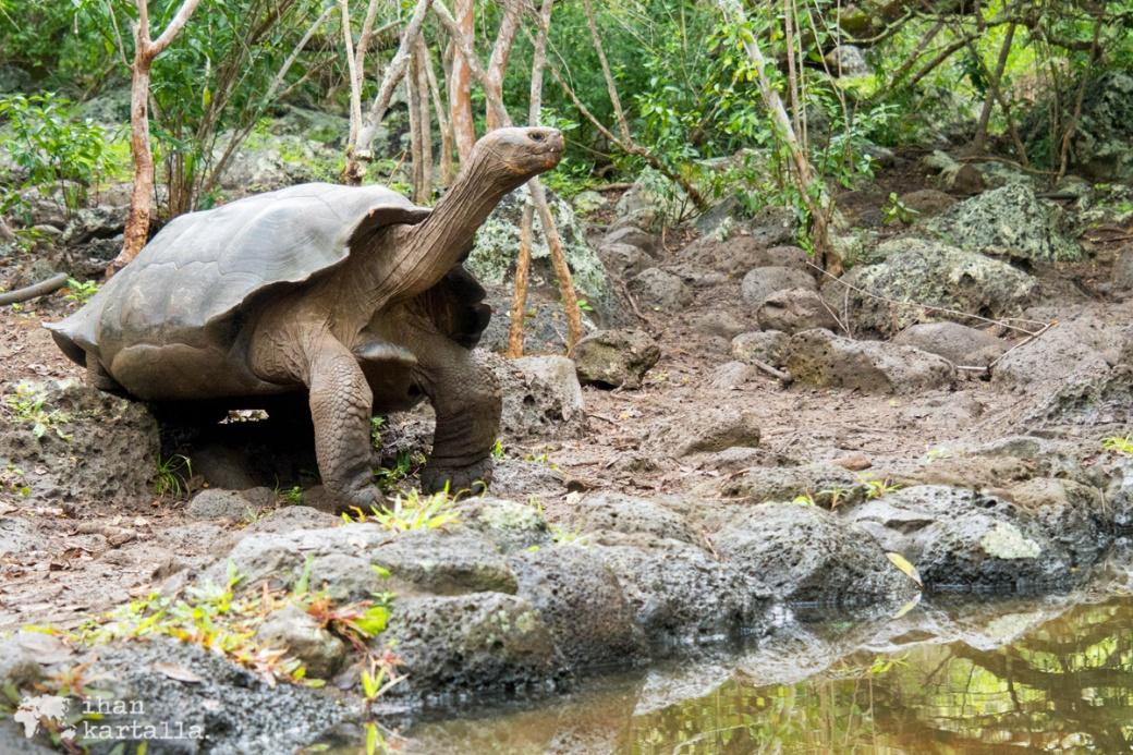 12-9-galapagos-san-cristobal-galapagos-giant-turtle