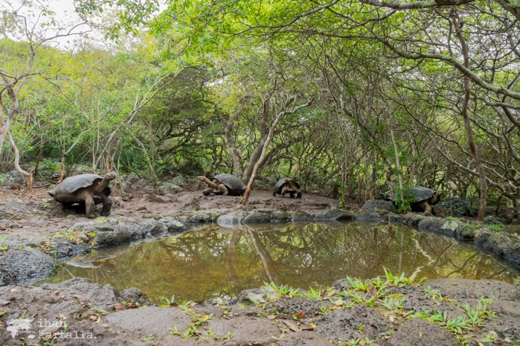 12-9-galapagos-san-cristobal-giant-tortoises