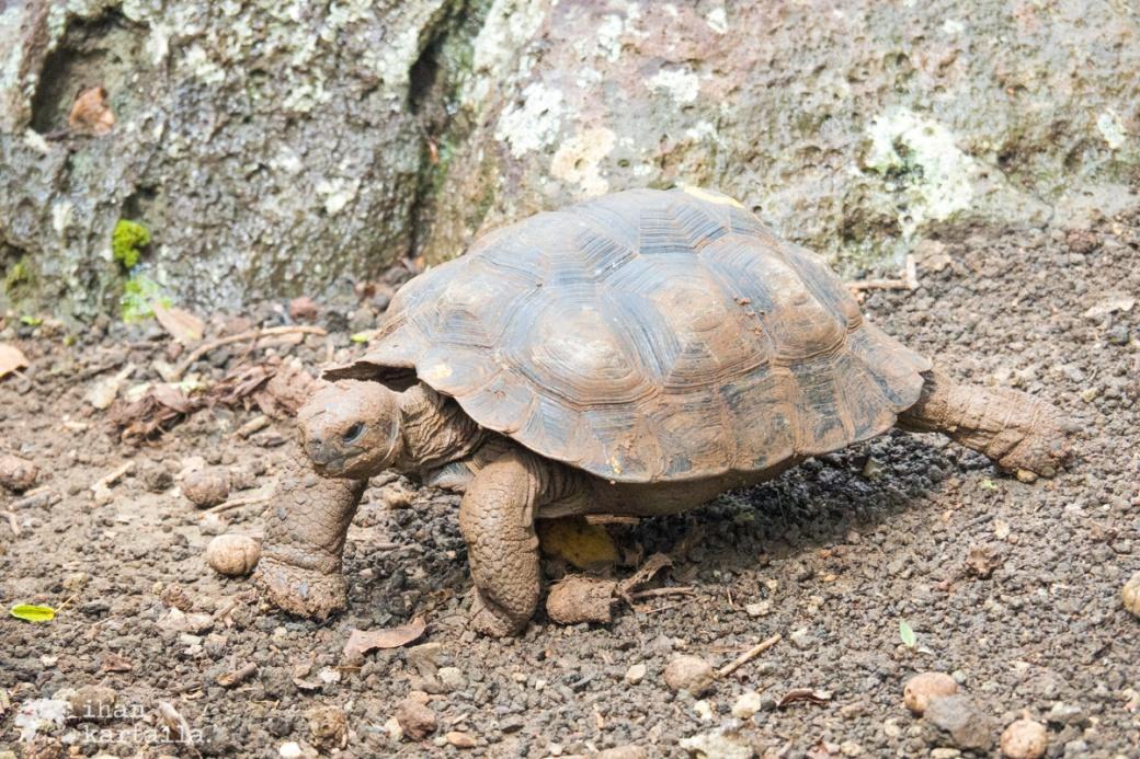 12-9-galapagos-san-cristobal-young-tortoise