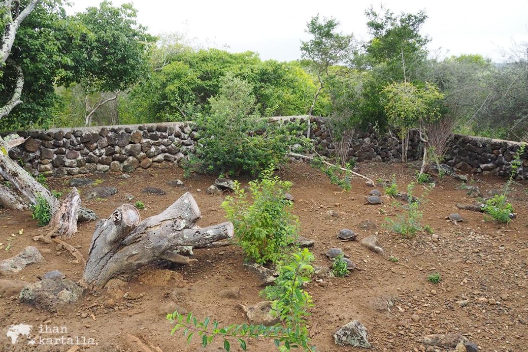 12-9-galapagos-san-cristobal-young-tortoises