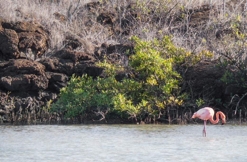 galapagossaaret flamingo