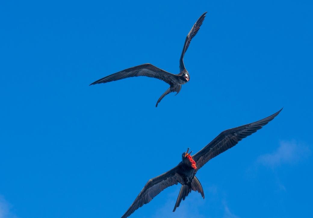 galapagossaaret fregattilintu frigatebird