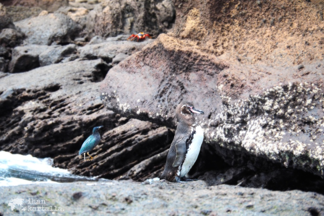 9-9-galapagos-bartolome-penguin-and-friends2