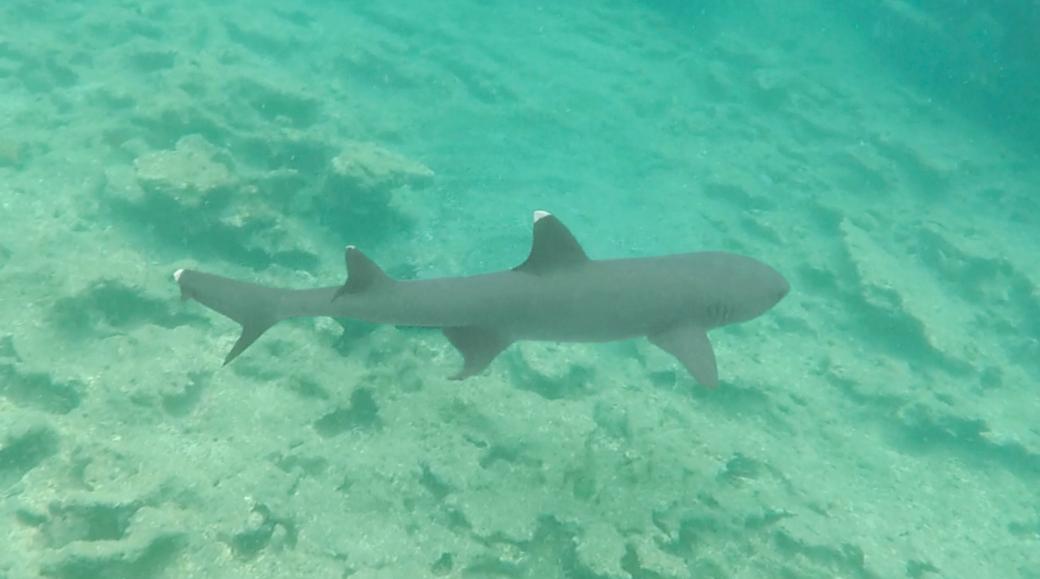 9-9 galapagos bartolome whitetip reef shark