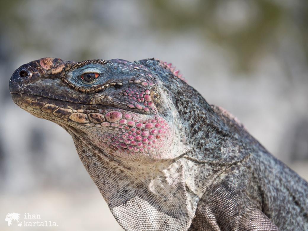 4-9-bahama-allen-cay-iguana