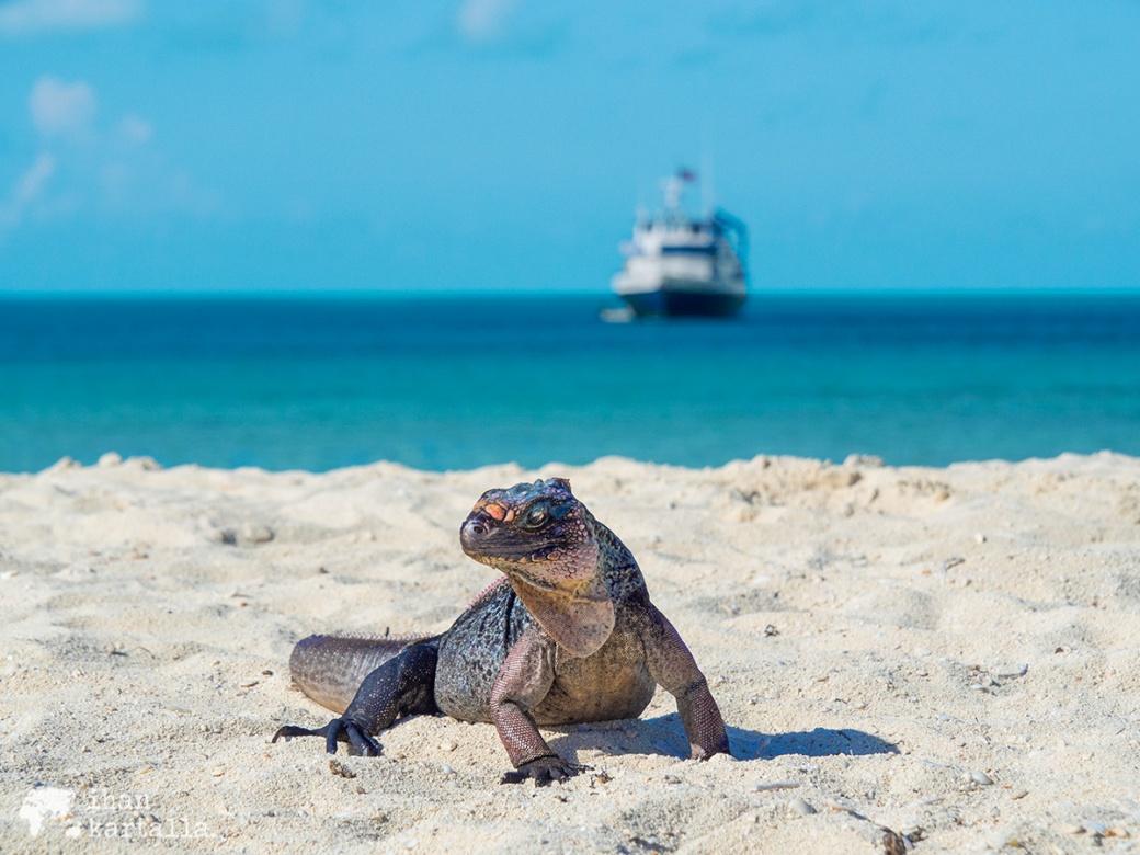 4-9-bahama-allen-cay-iguanas