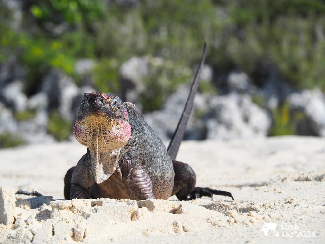 4-9-bahama-allen-cay-iguanas2