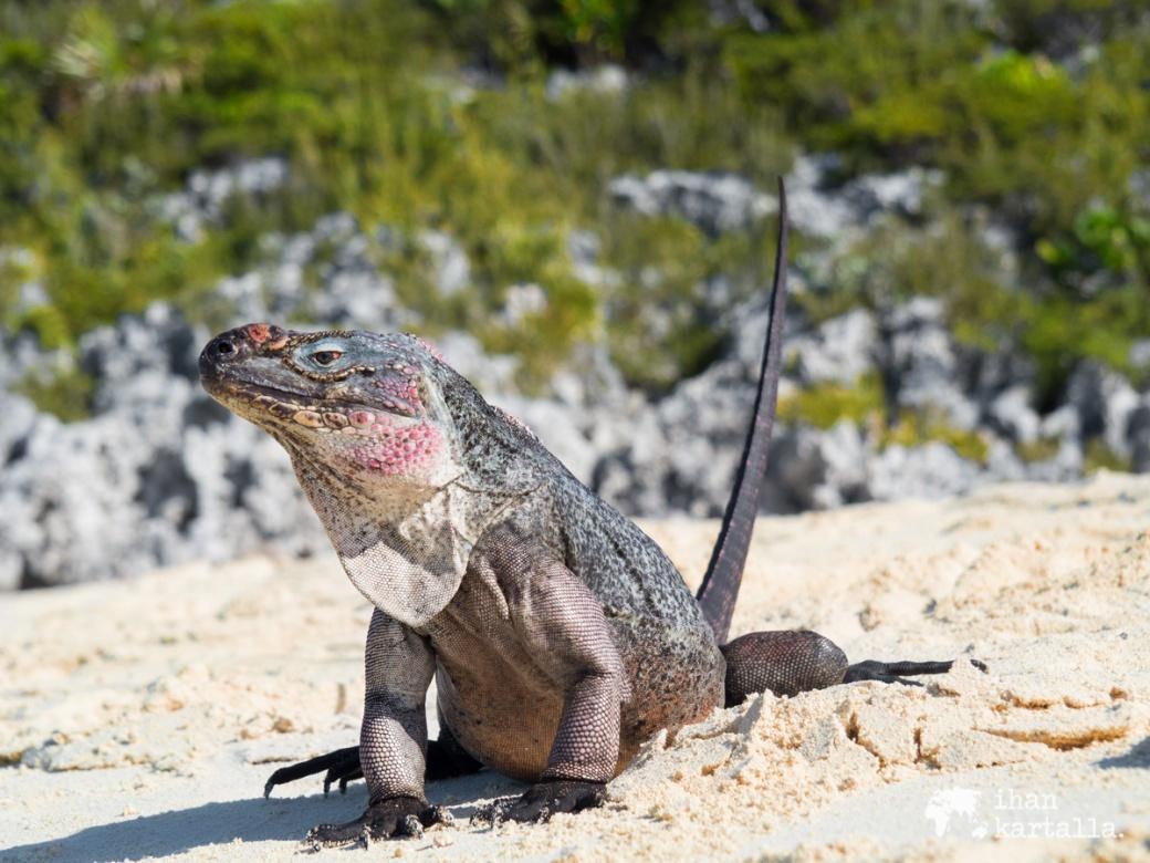 4-9-bahama-allen-cay-iguanas3
