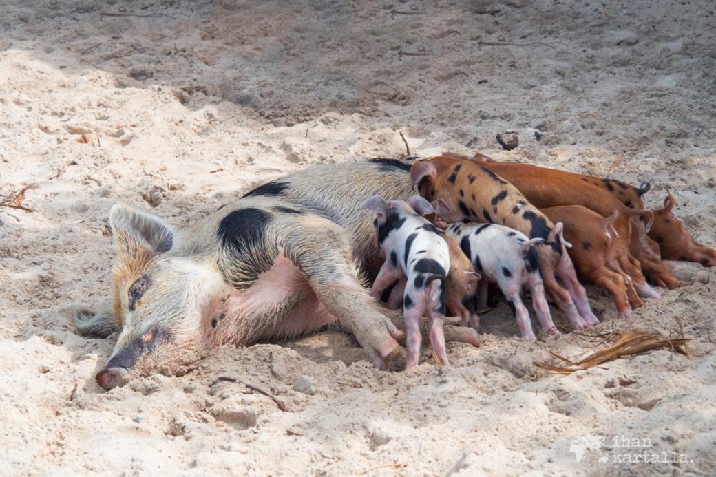 4-9-bahama-big-major-cay-pig-beach