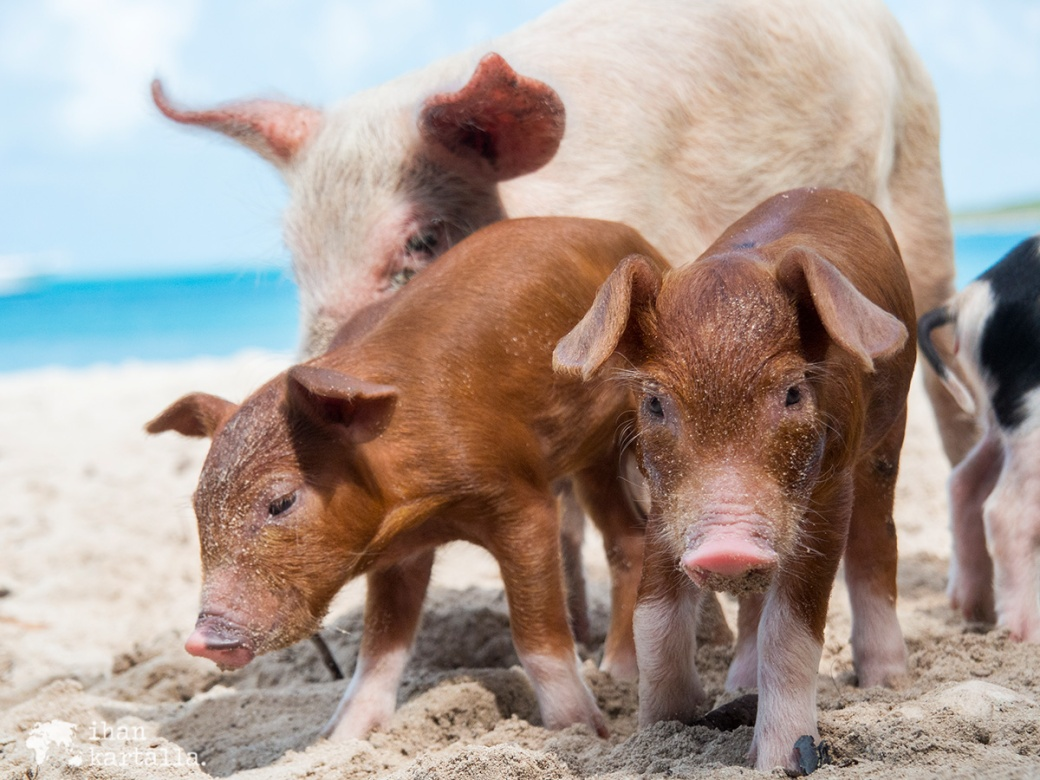 4-9-bahama-big-major-cay-piglets