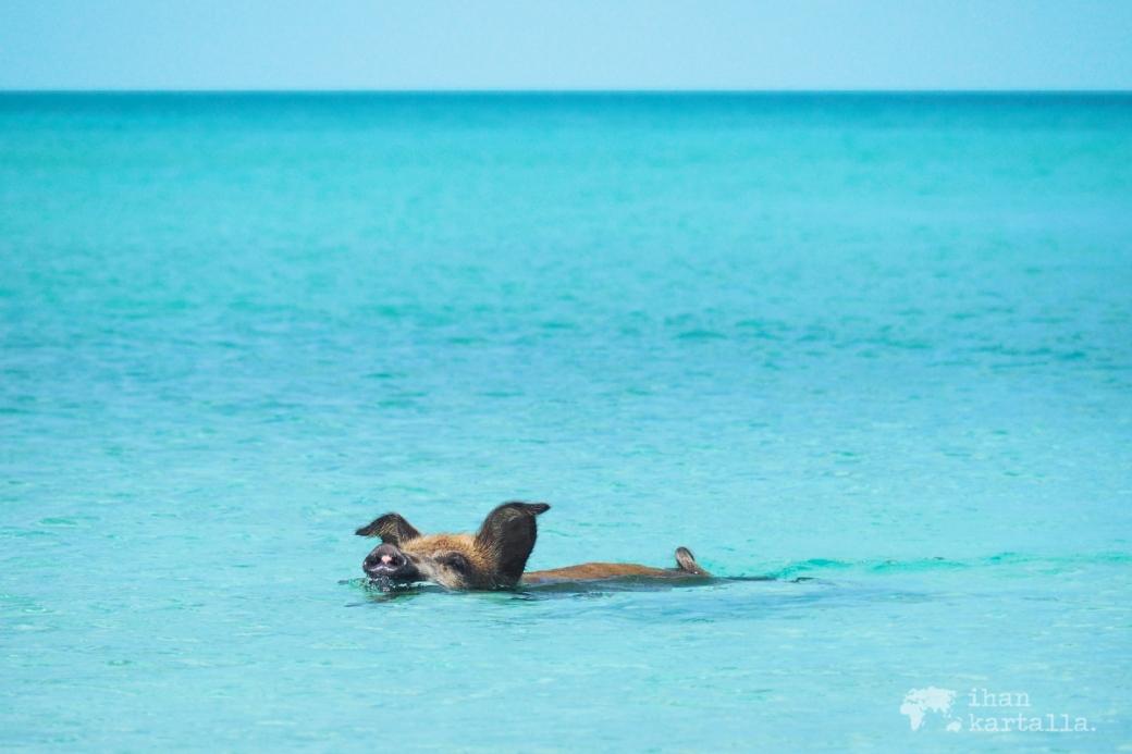 4-9-bahama-big-major-cay-swimming-pig