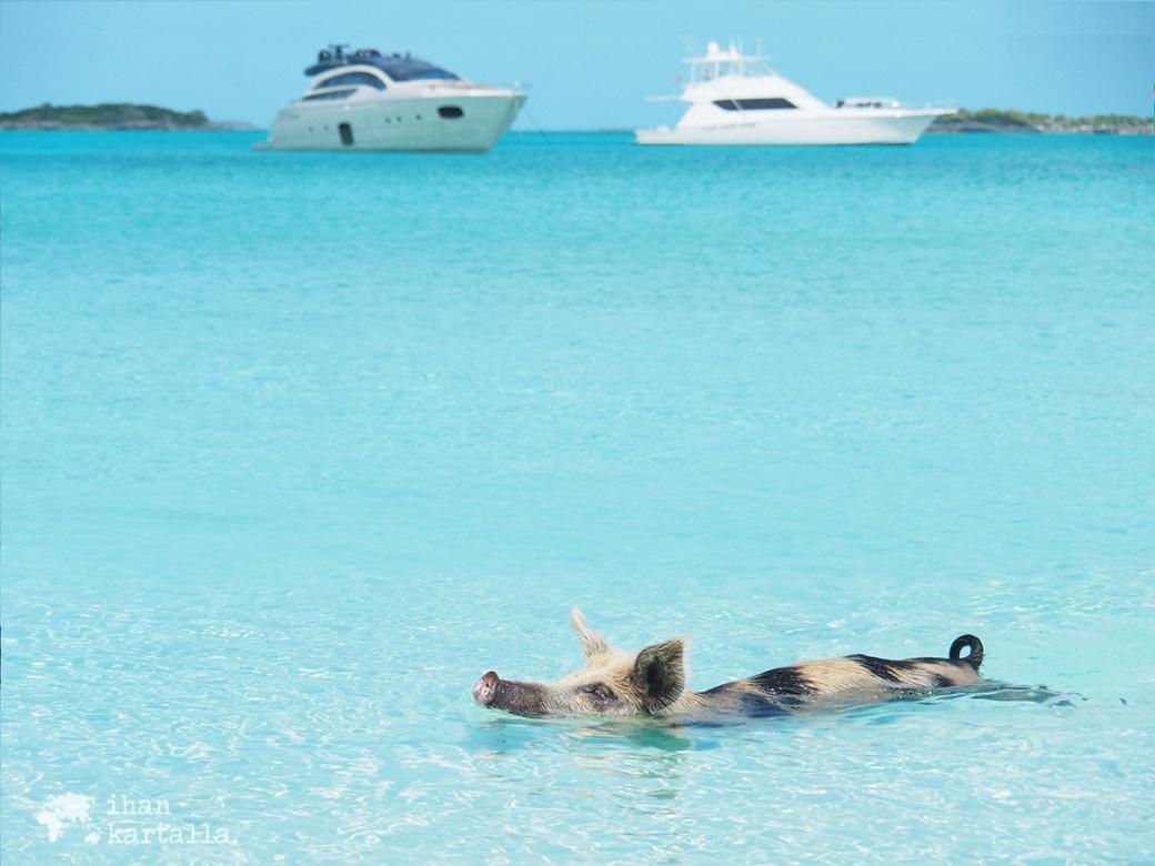 4-9-bahama-big-major-cay-swimming-pig3