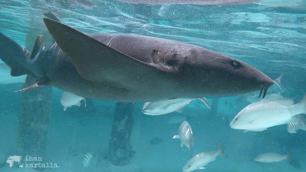 4-9-bahama-compass-cay-nurse-shark