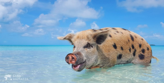 bahama exuma uivat possut swimming pigs